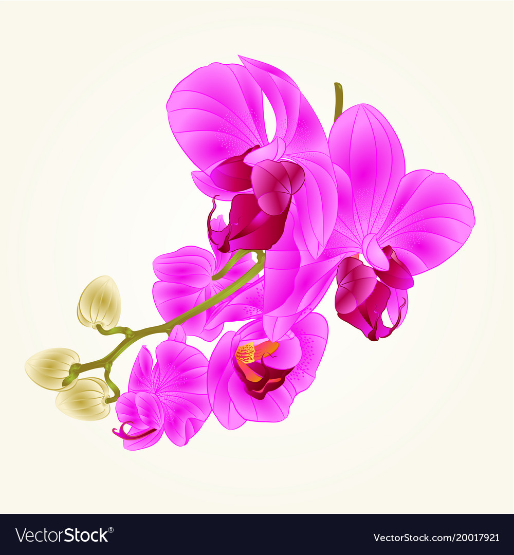 Stem with flowers and buds beautiful orchid vector image izmirmasajfo