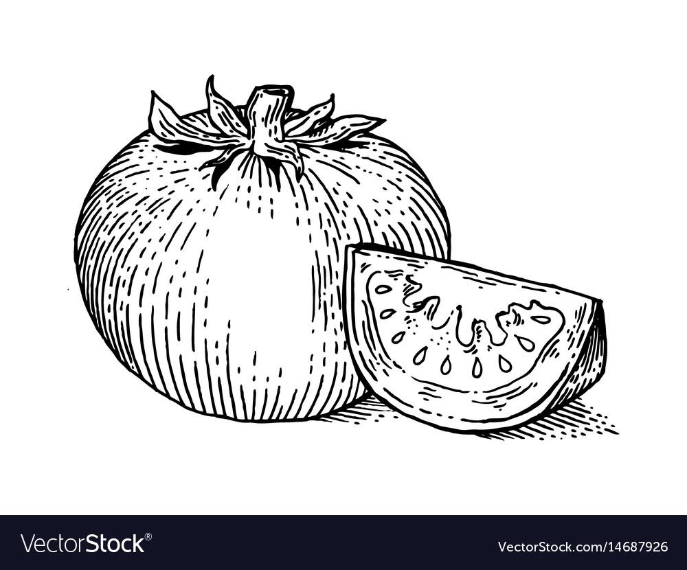 Tomato vegetable engraving style