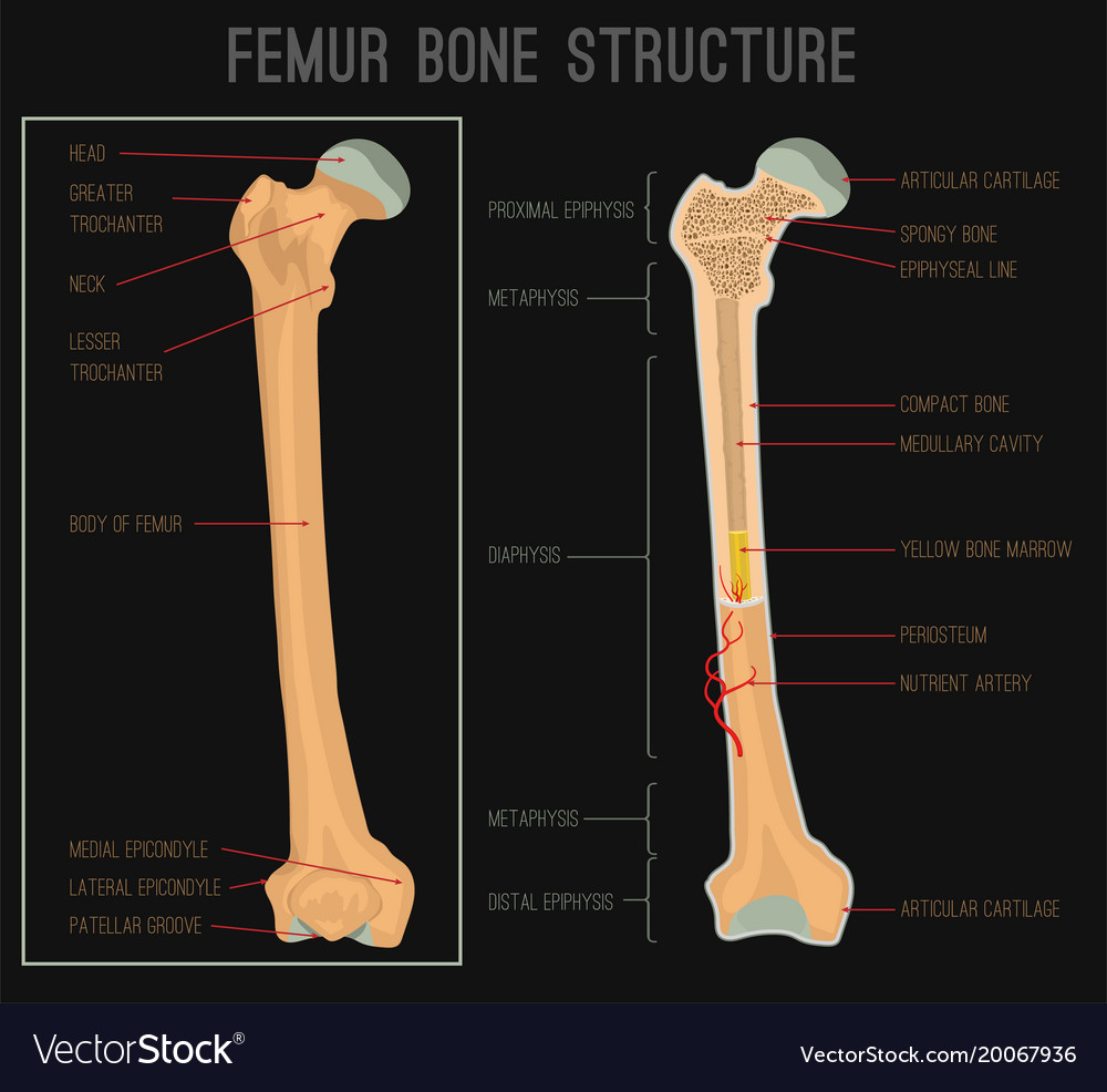 Femur Bone Structure Royalty Free Vector Image