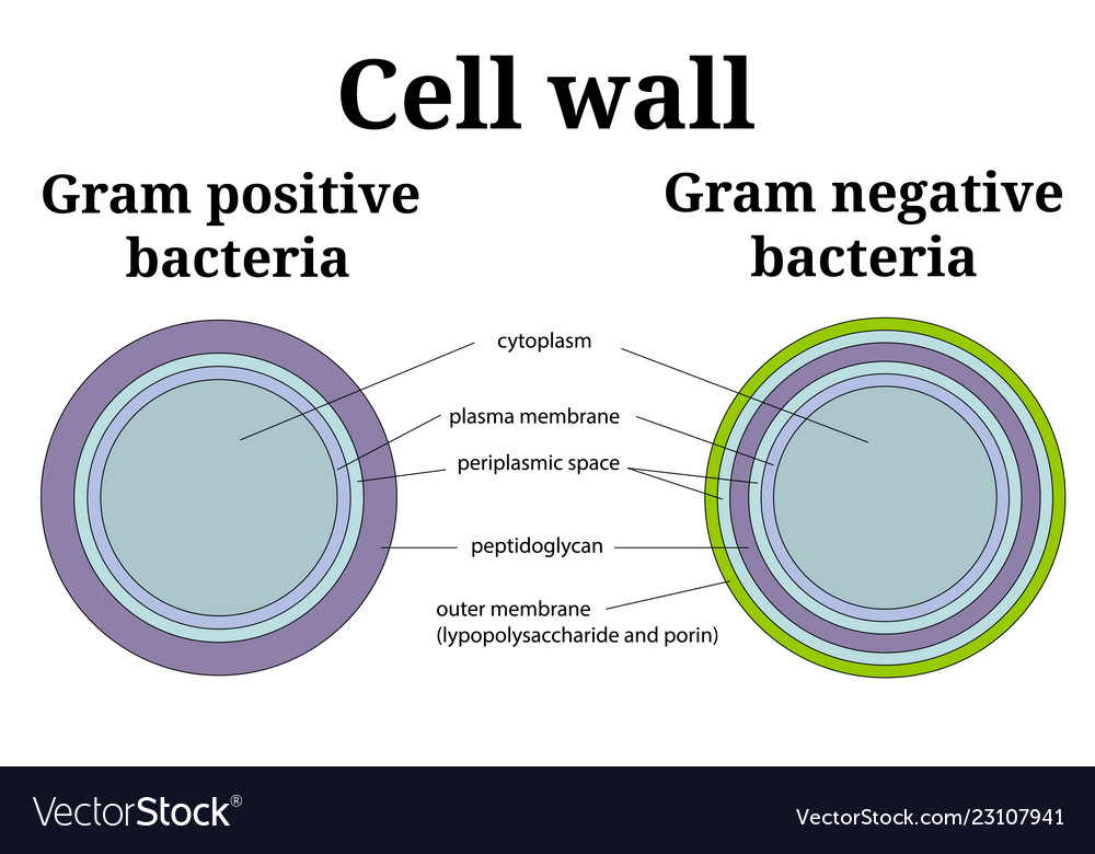 Bacteria Cell Wall Gram Positive And Gram Negative