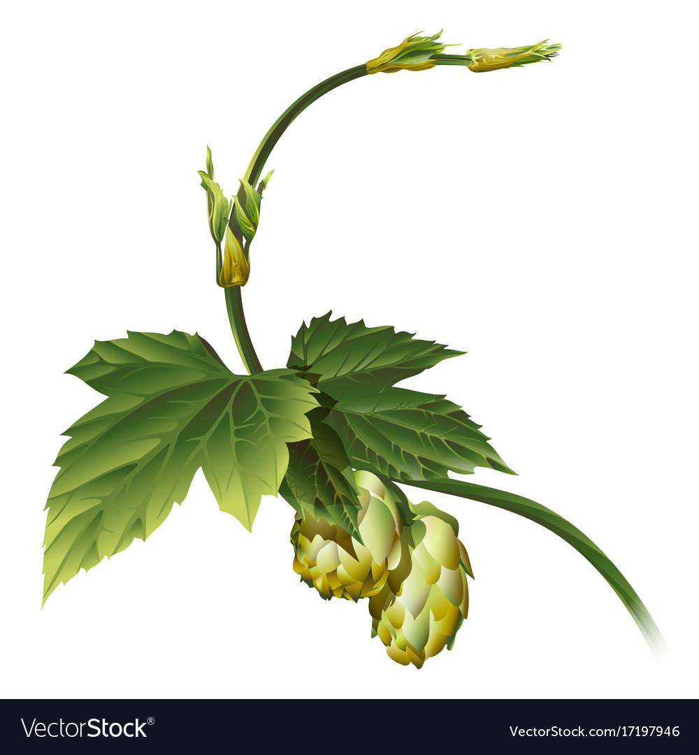 Hop Plant Royalty Free Vector Image Vectorstock