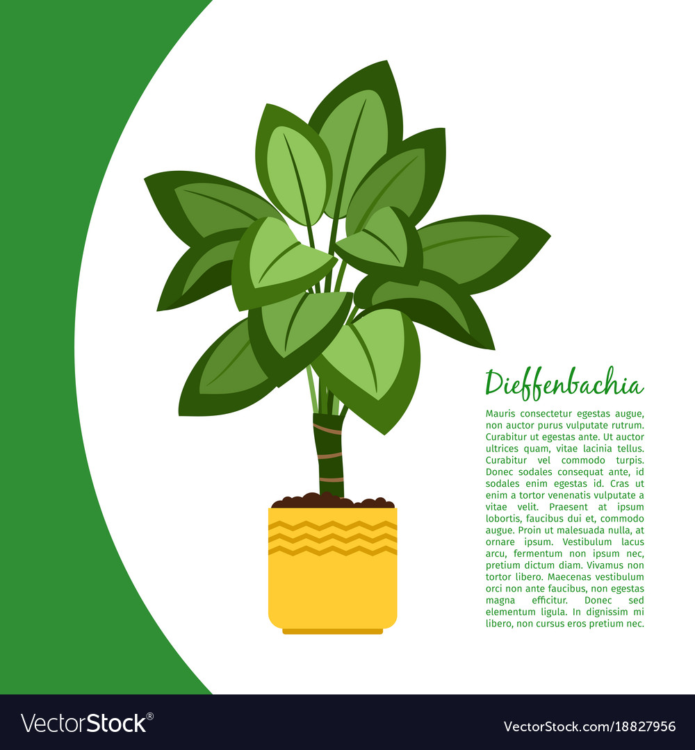 pretty dieffenbachia house plant. Dieffenbachia plant in pot banner vector image Royalty Free Vector Image