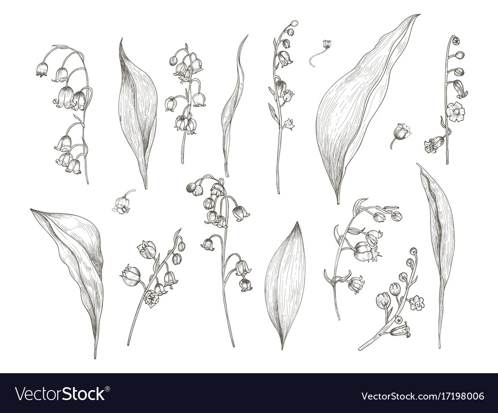 Gorgeous drawing of lily of the valley parts Vector Image on