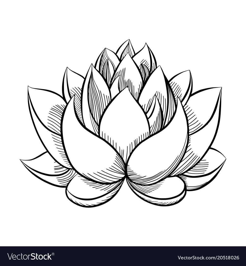Lotus Flower Bloom Royalty Free Vector Image Vectorstock