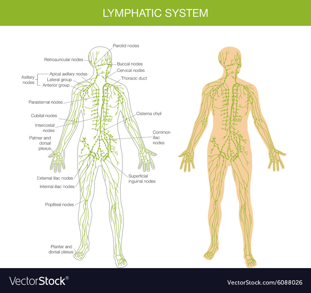 Medical description of the lymphatic system Vector Image