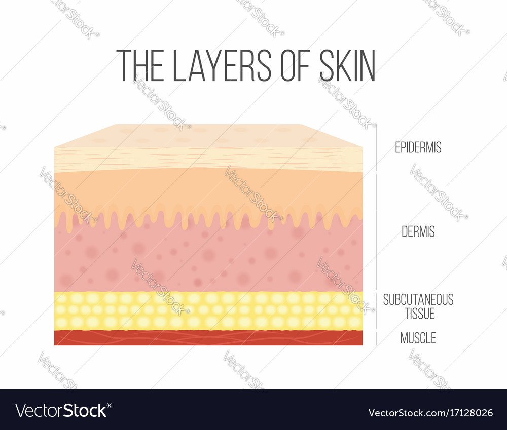 Skin Layers Healthy Normal Human Skin Royalty Free Vector