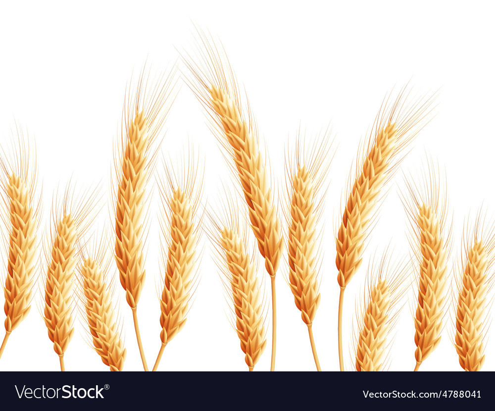 Field of wheat on white EPS 10