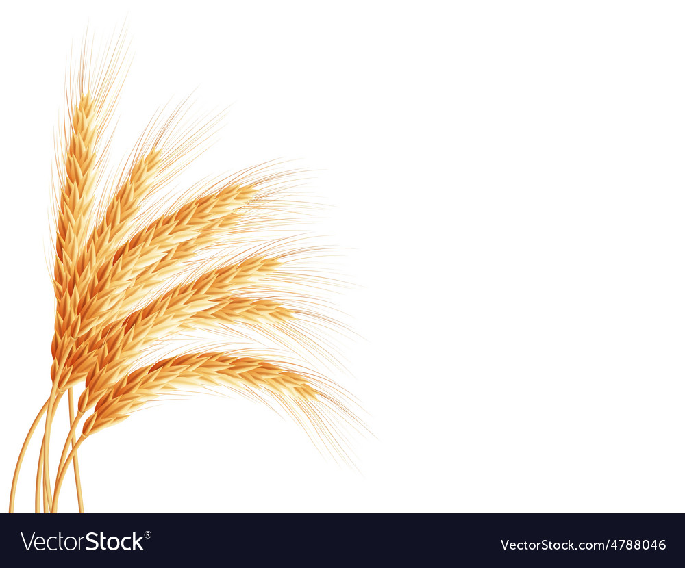 Wheat ears isolated on white background EPS 10