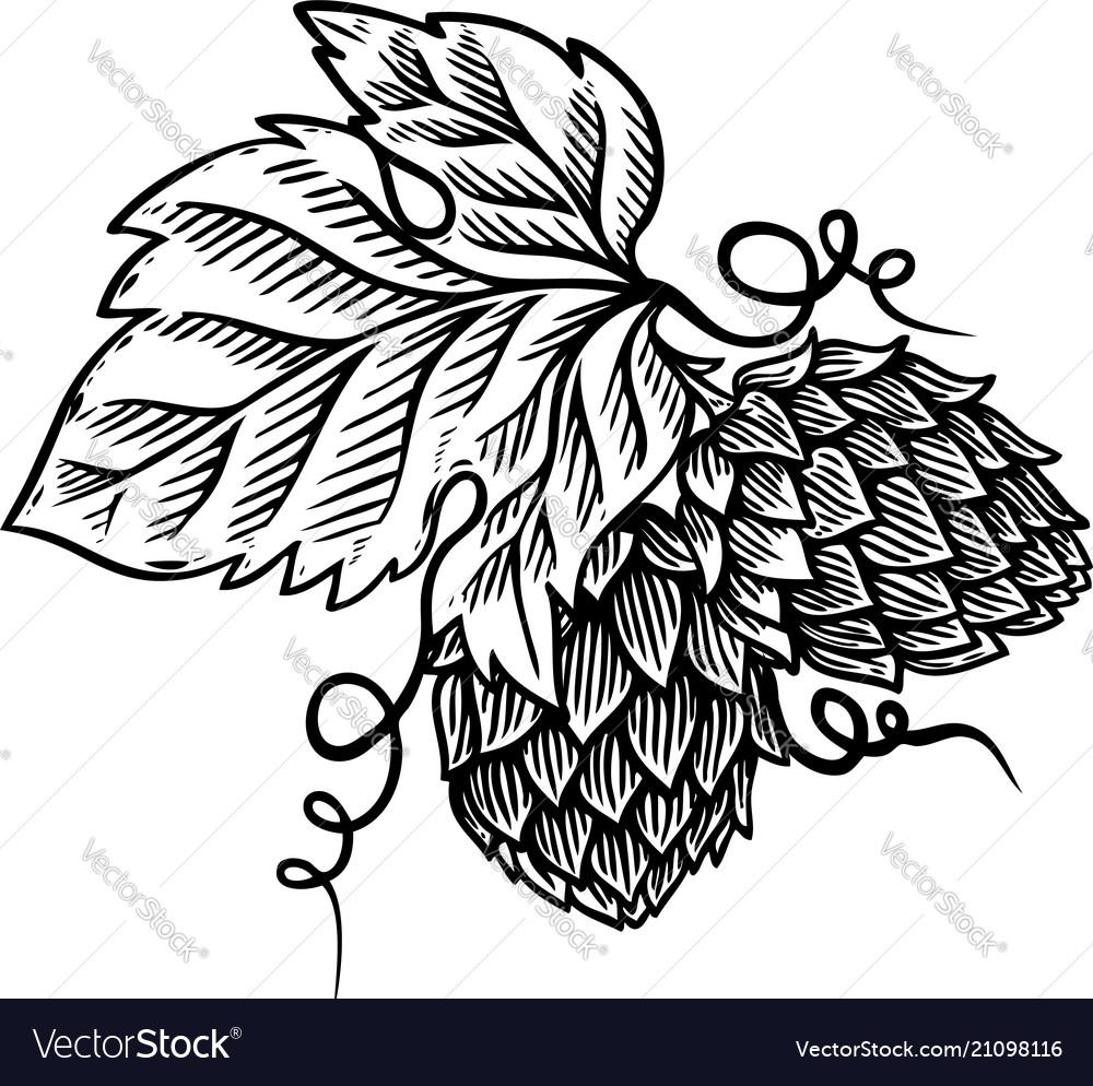 Hop branch on white background design element