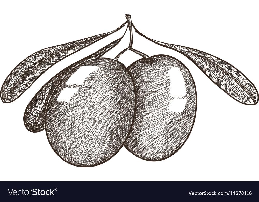 Olives sket vector image