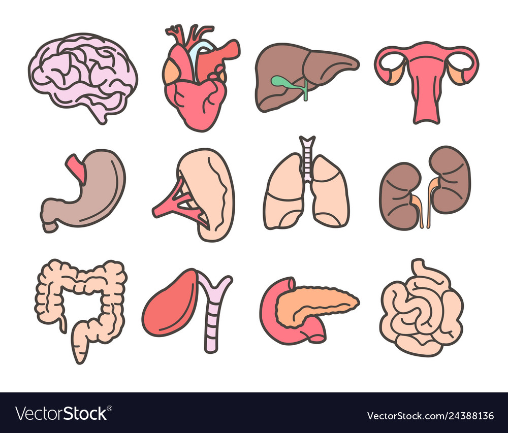 Human organs isolated internal body parts anatomy