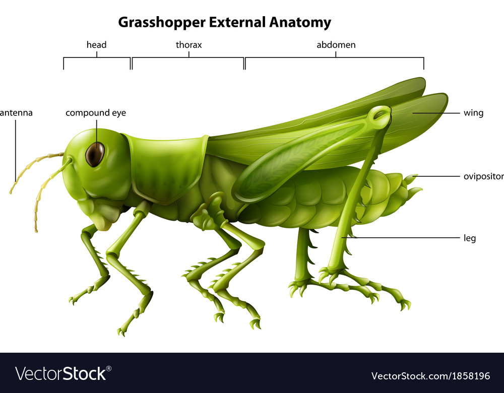 External Anatomy Of A Grasshopper Royalty Free Vector Image