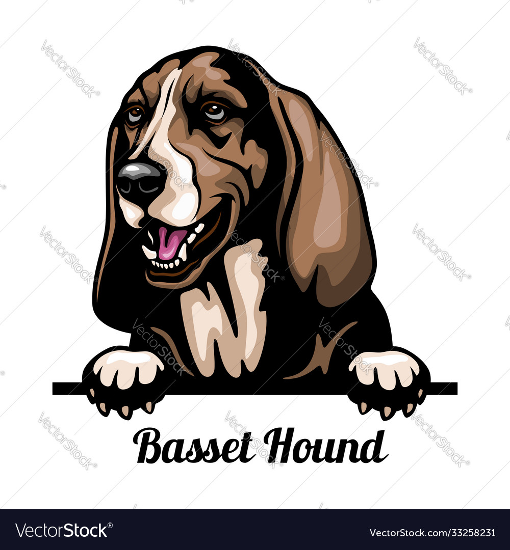 Basset hound - color peeking dogs - breed face