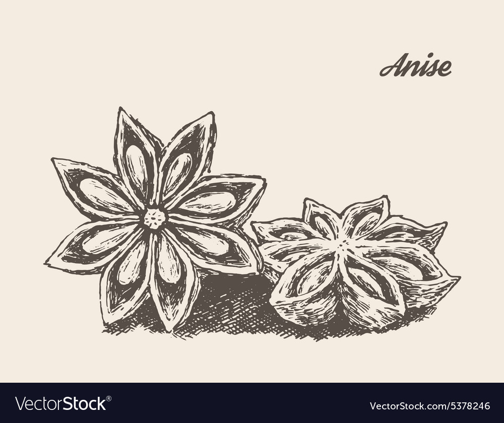 Anise vintage engraved sketch