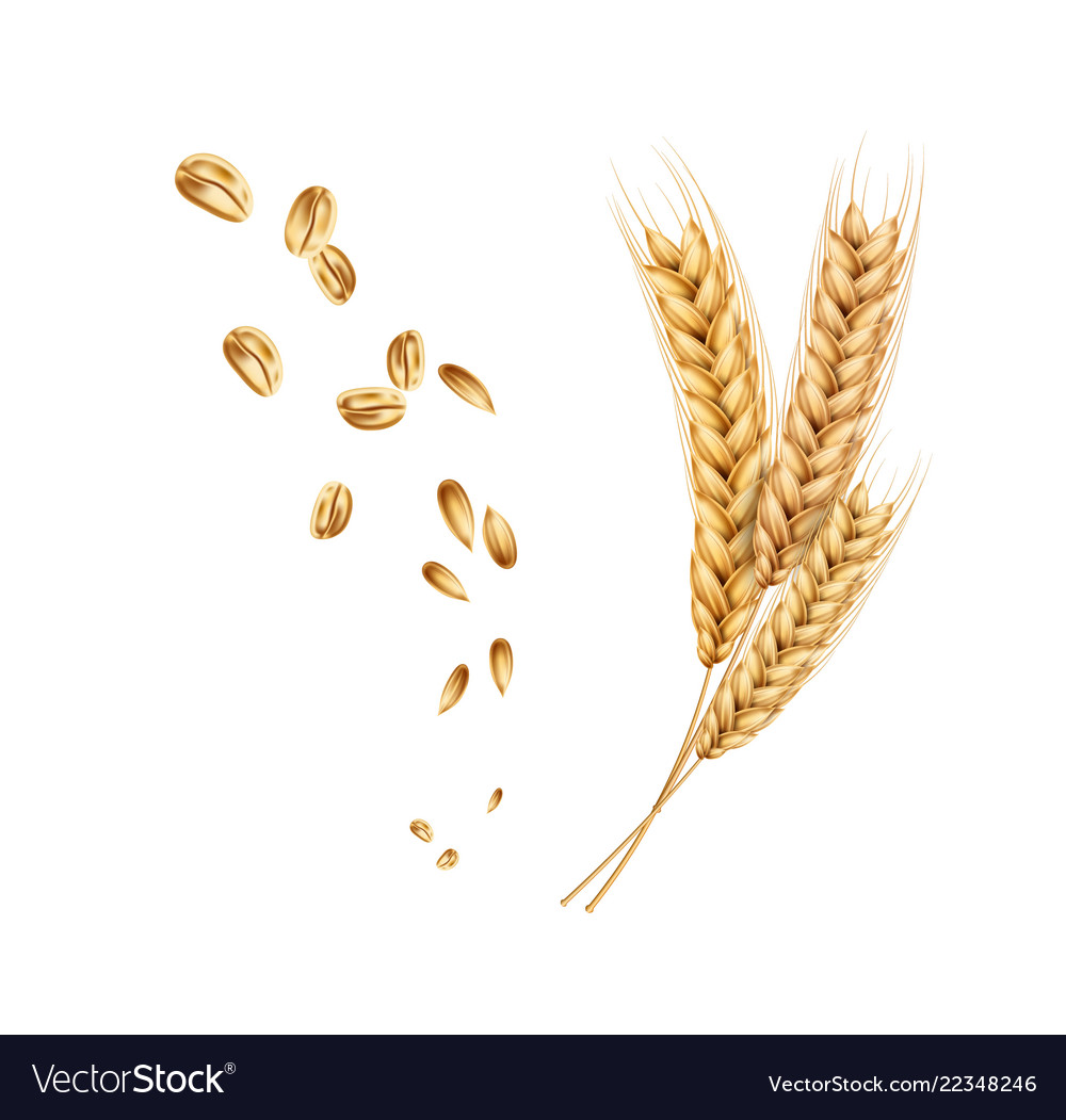 Wheat ears spikelets realistic with grains