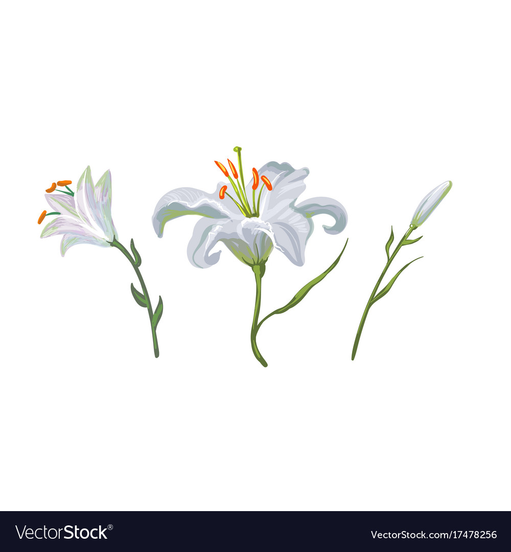 With White Lily Flowers In Different Royalty Free Vector