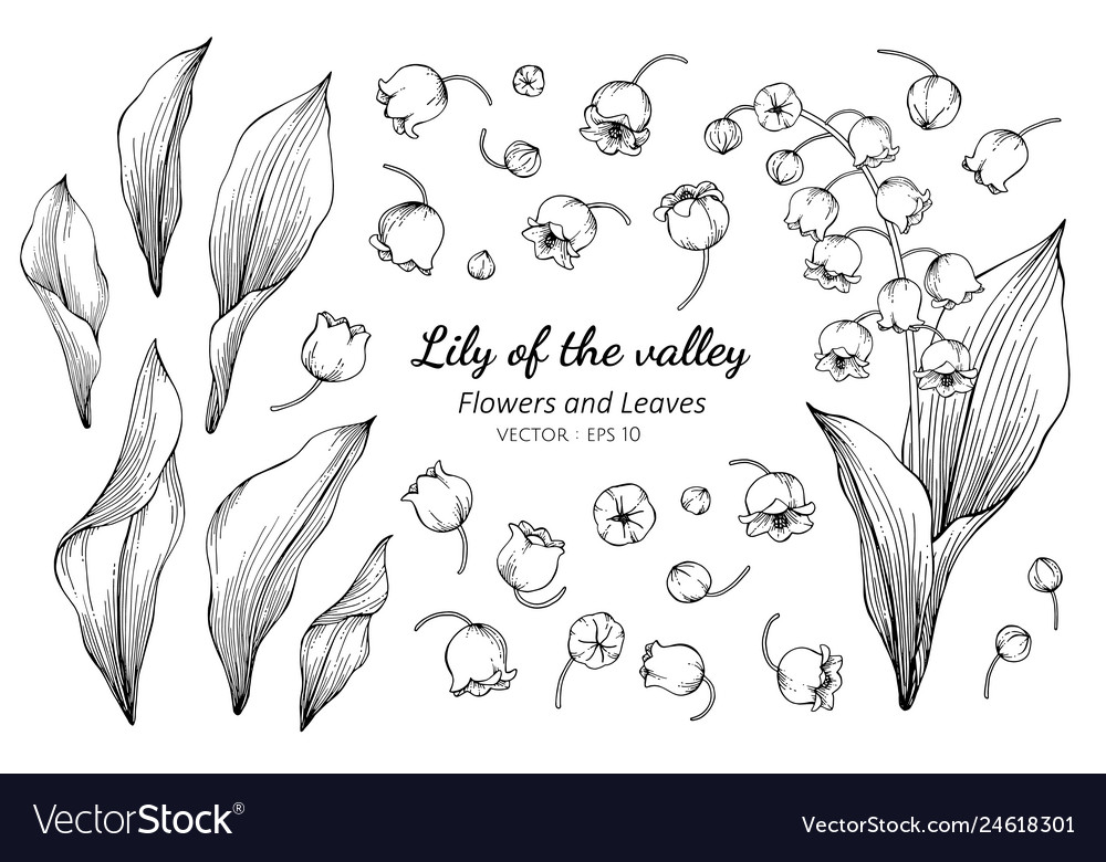 Collection set of lily of the valley flower and
