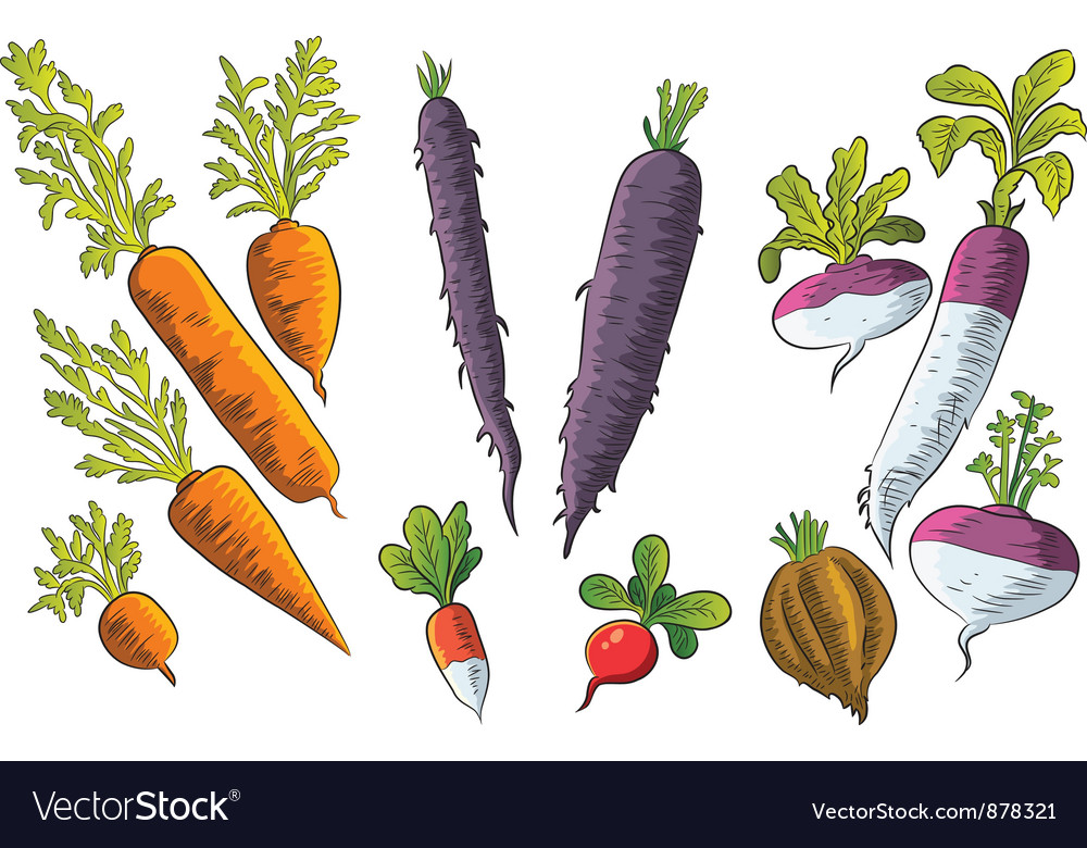 Tuber Vegetables Collection vector image
