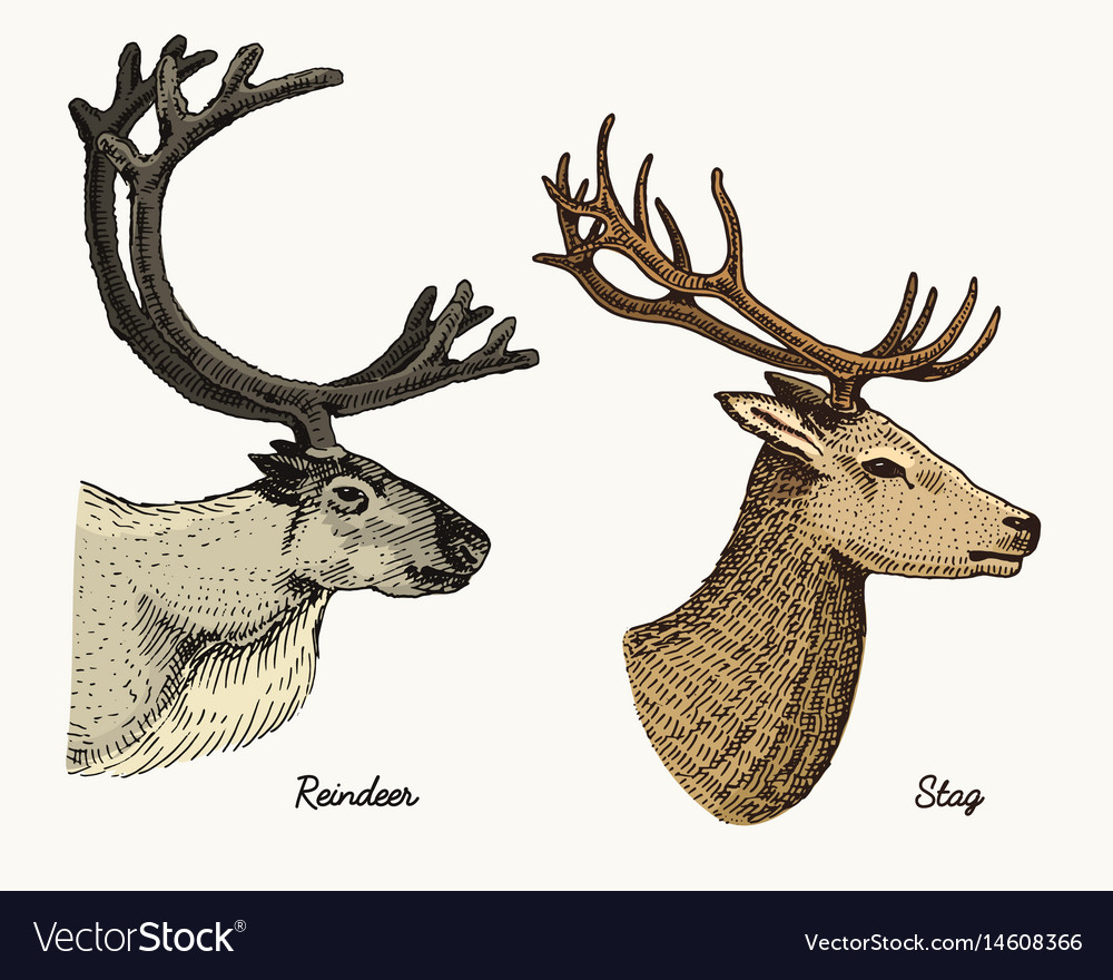 Reindeer and stag deer hand drawn vector image