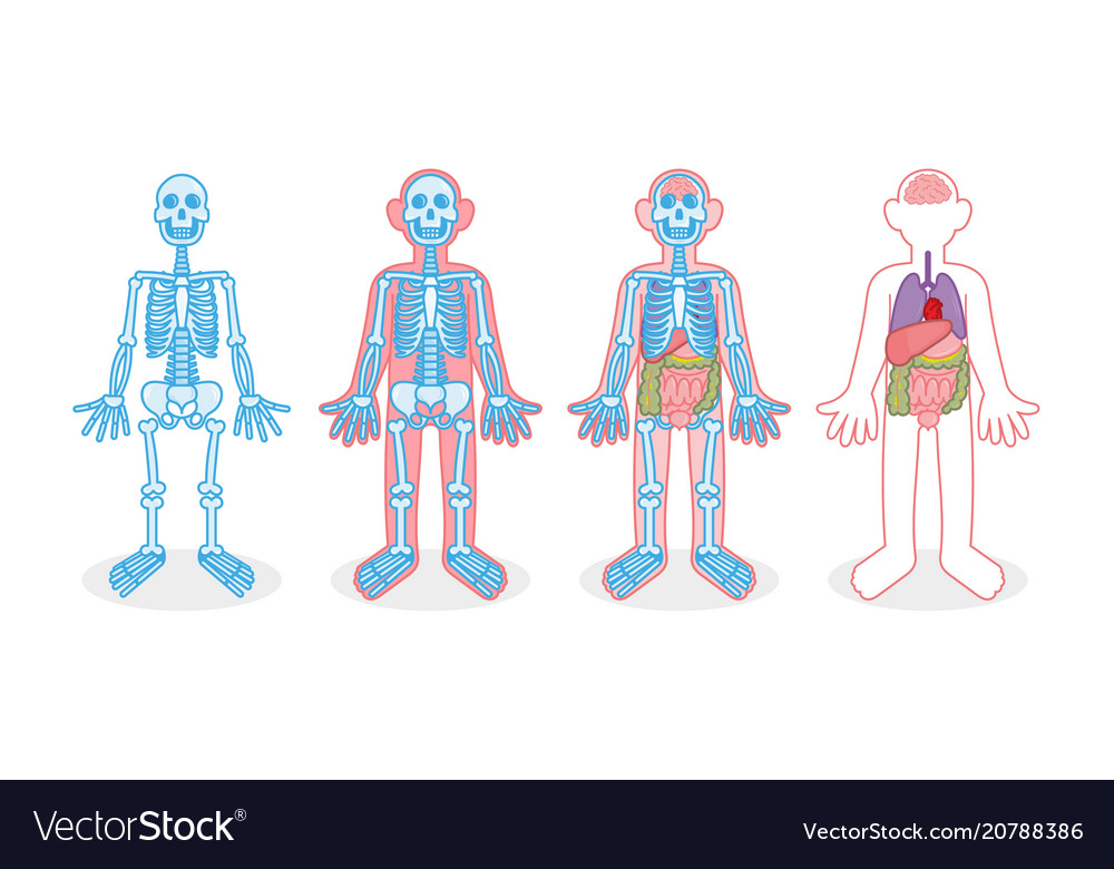 Set Skeleton Internal Organs Royalty Free Vector Image