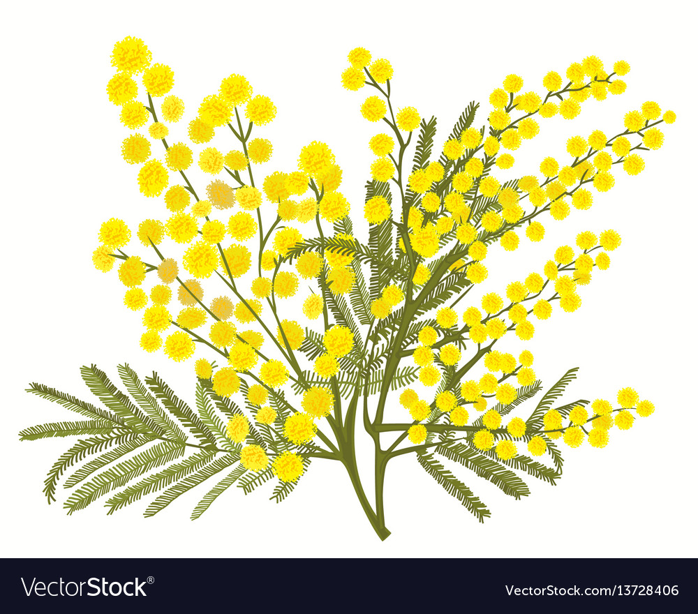 Hand-drawn branch of mimosa isolated on white