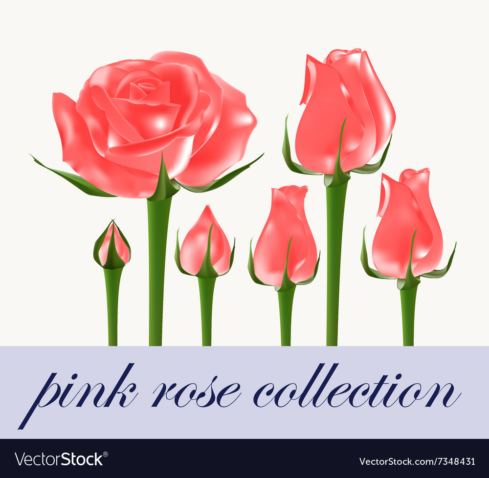 Pink rose collection vector image