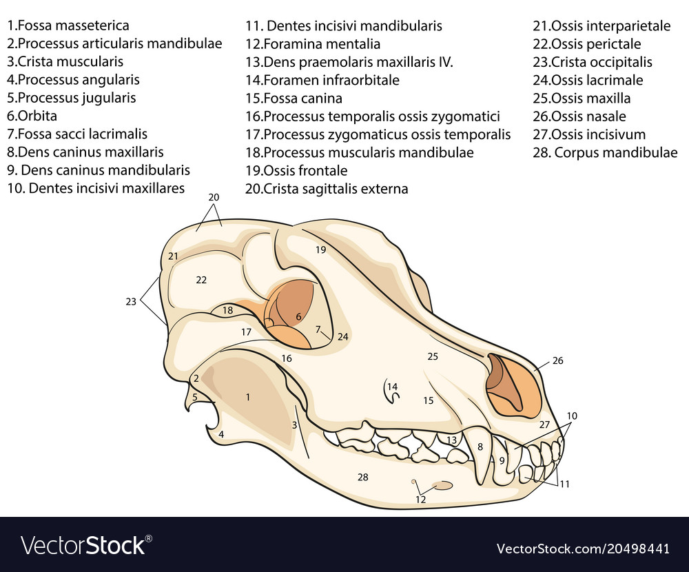 Parts, Of, Jaw & Bone Vector Images (45)
