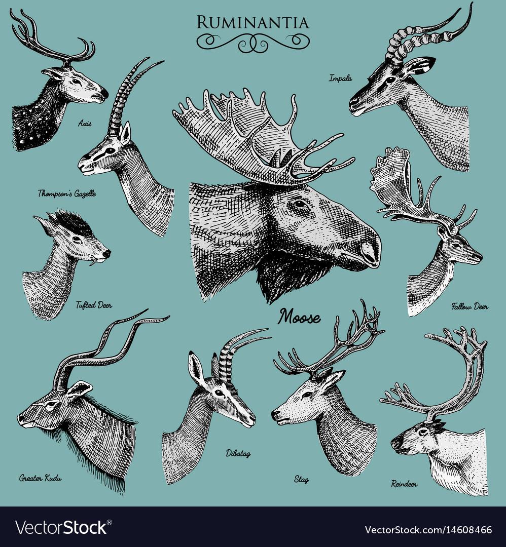 Big set of horn antlers animals moose or elk with