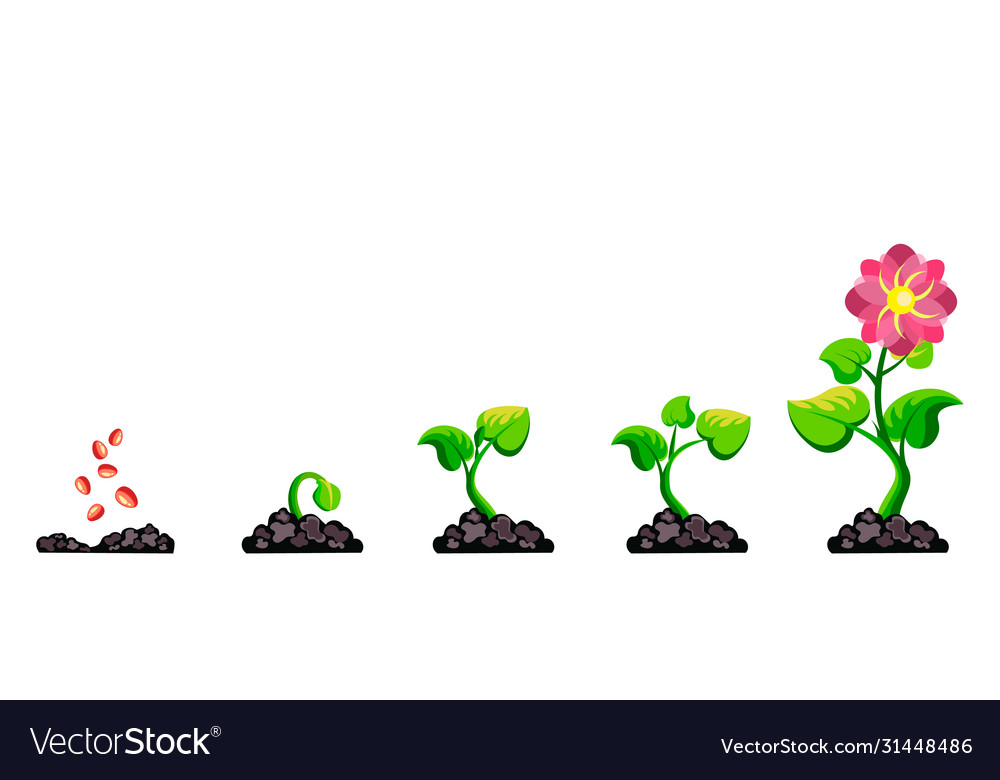 Phases plant growth infographic process