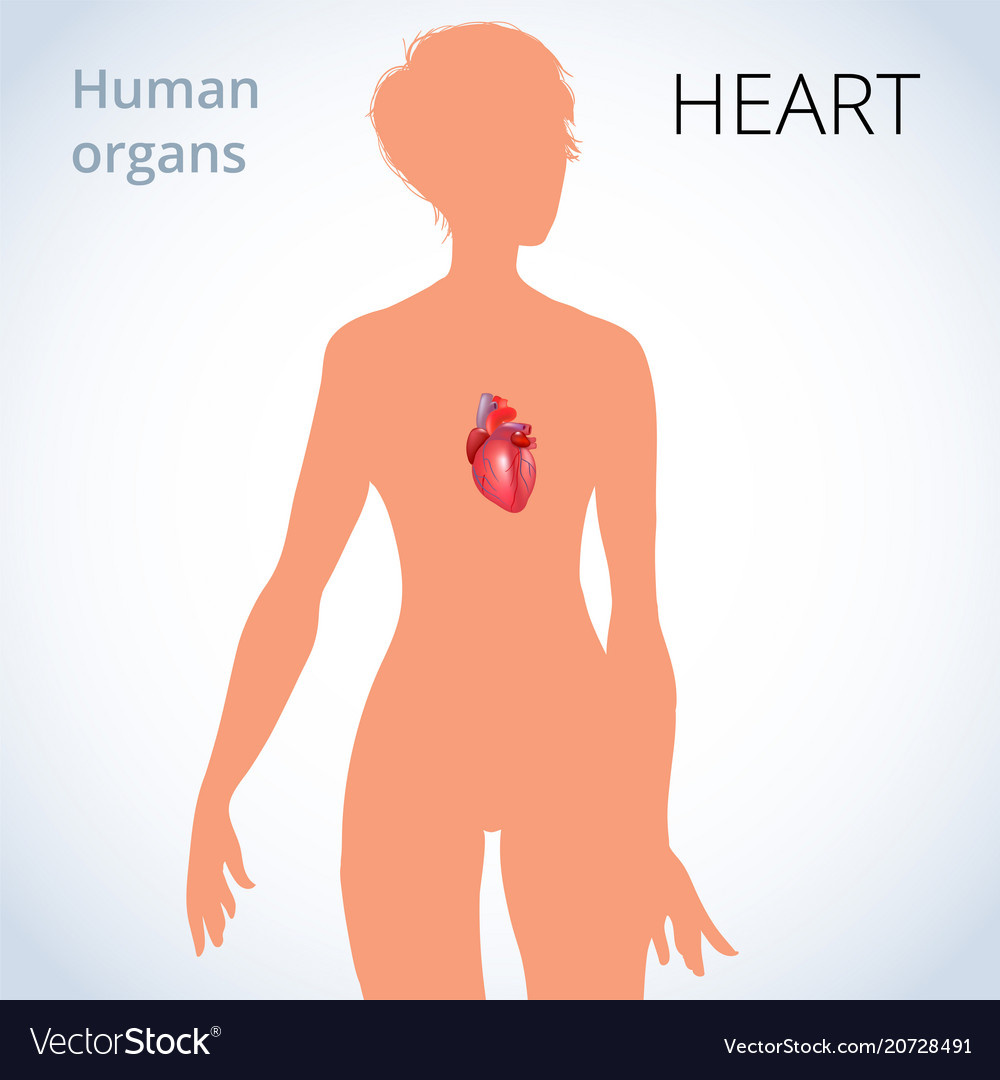 Location of the heart in the female body the vector image