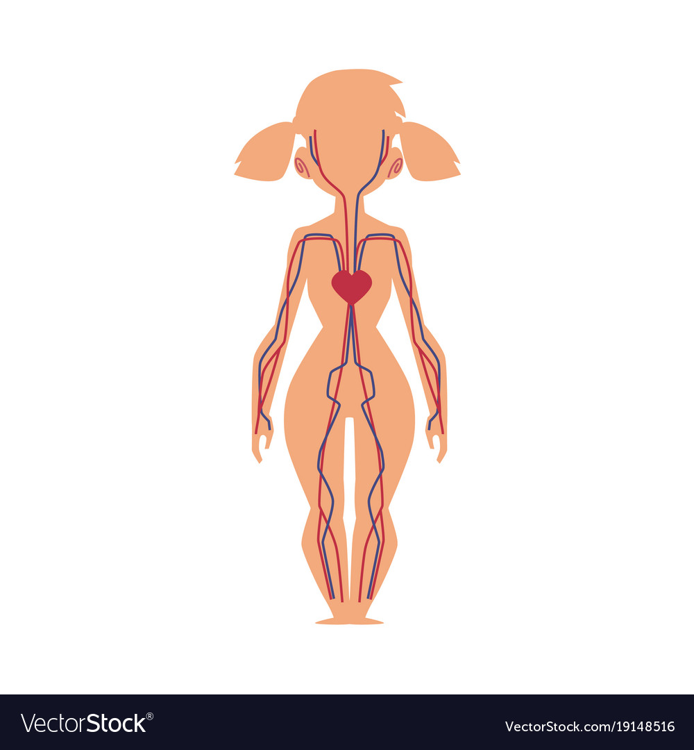 Anatomy chart of human blood system female body vector image on VectorStock