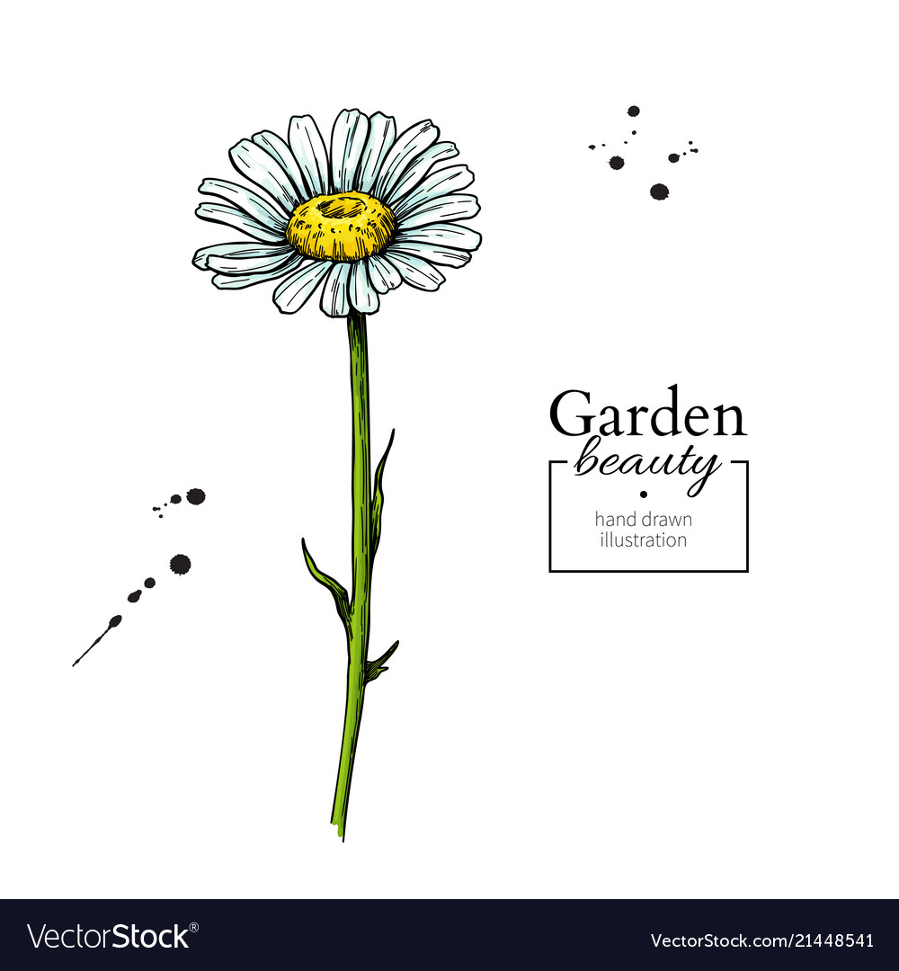 Daisy flower drawing hand drawn floral