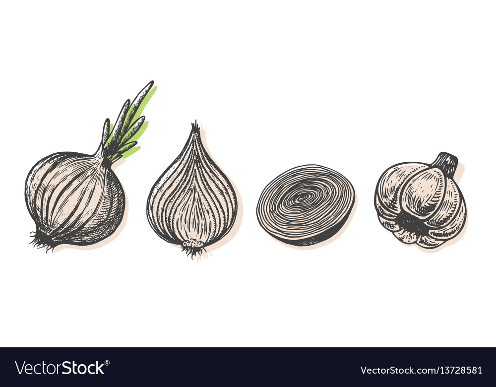 Hand drawn of onion sketch style doodle vegetable