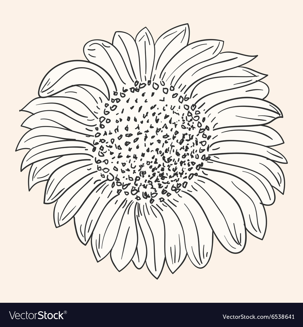 sunflower drawing royalty free vector image vectorstock