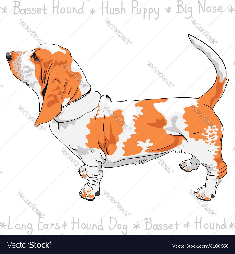 Dog Basset Hound breed vector image