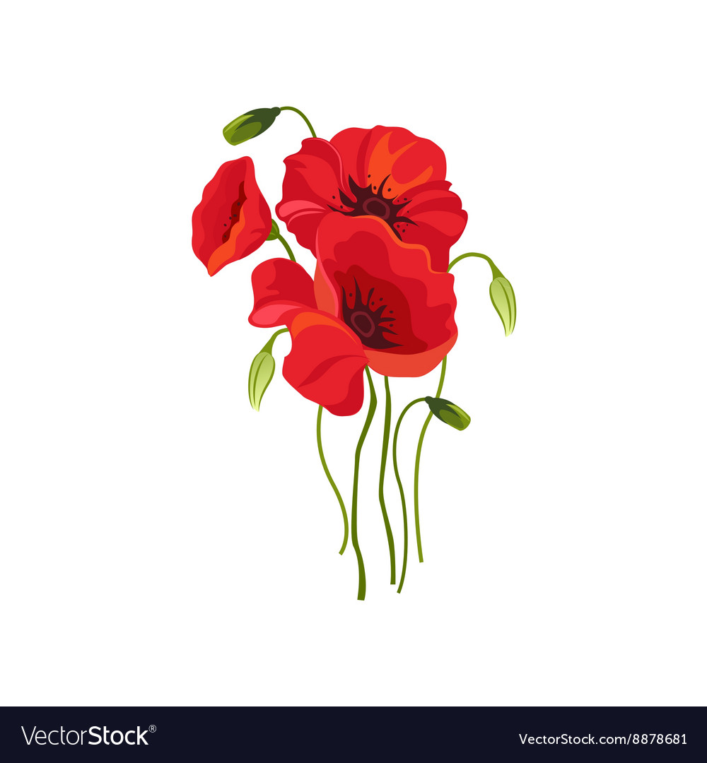 Poppy Hand Drawn Realistic vector image