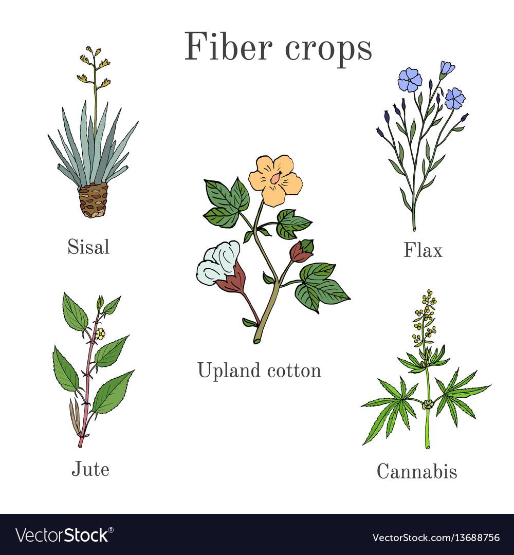 fiber crops cotton sisal flax jute cannabis vector image