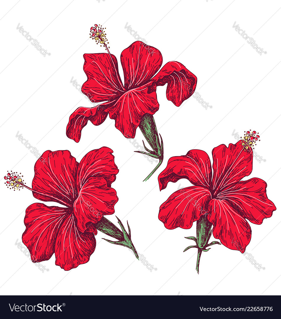 Red hibiscus flowers set sketch