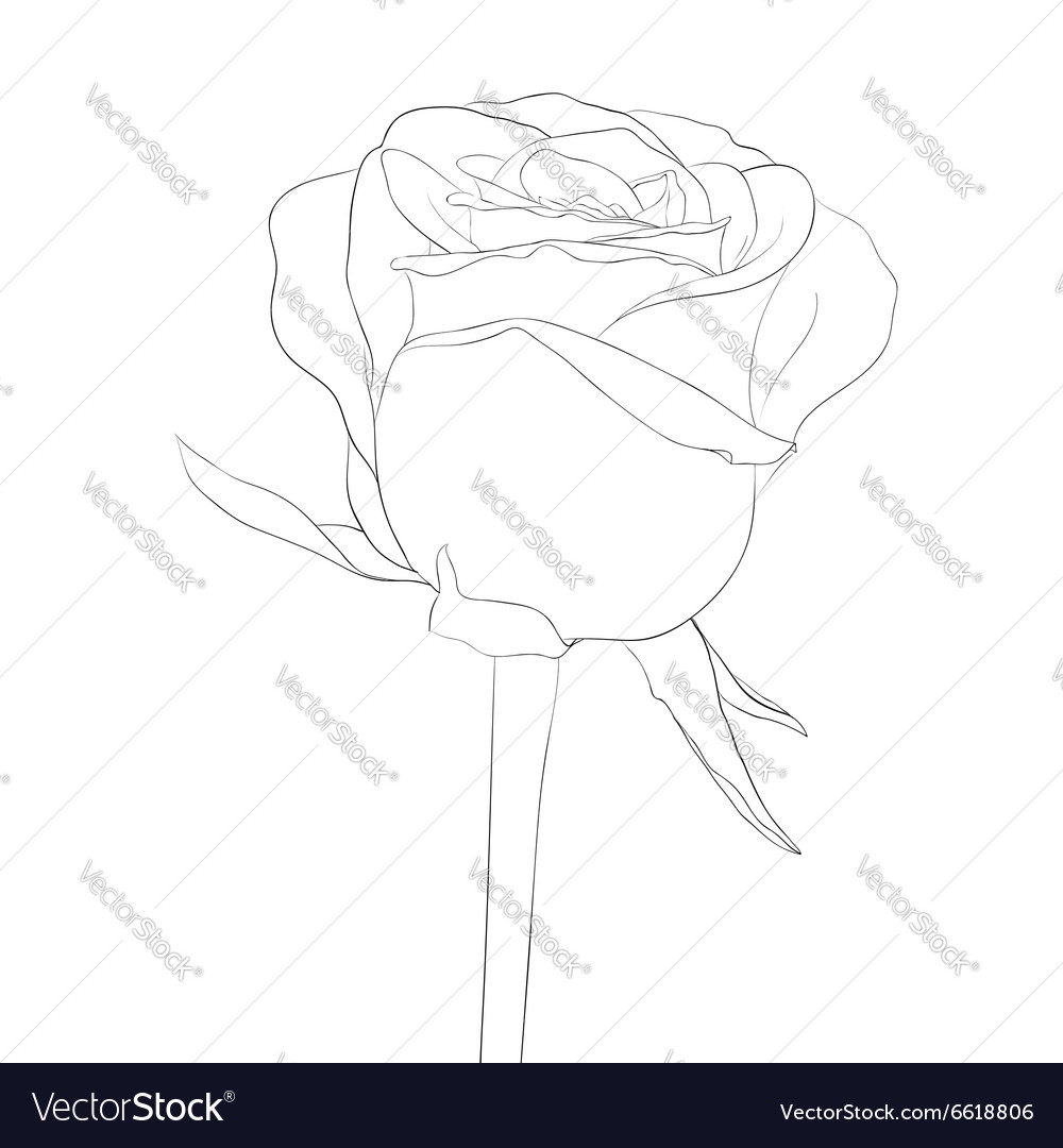 Black and white rose bud with stem flower isolated