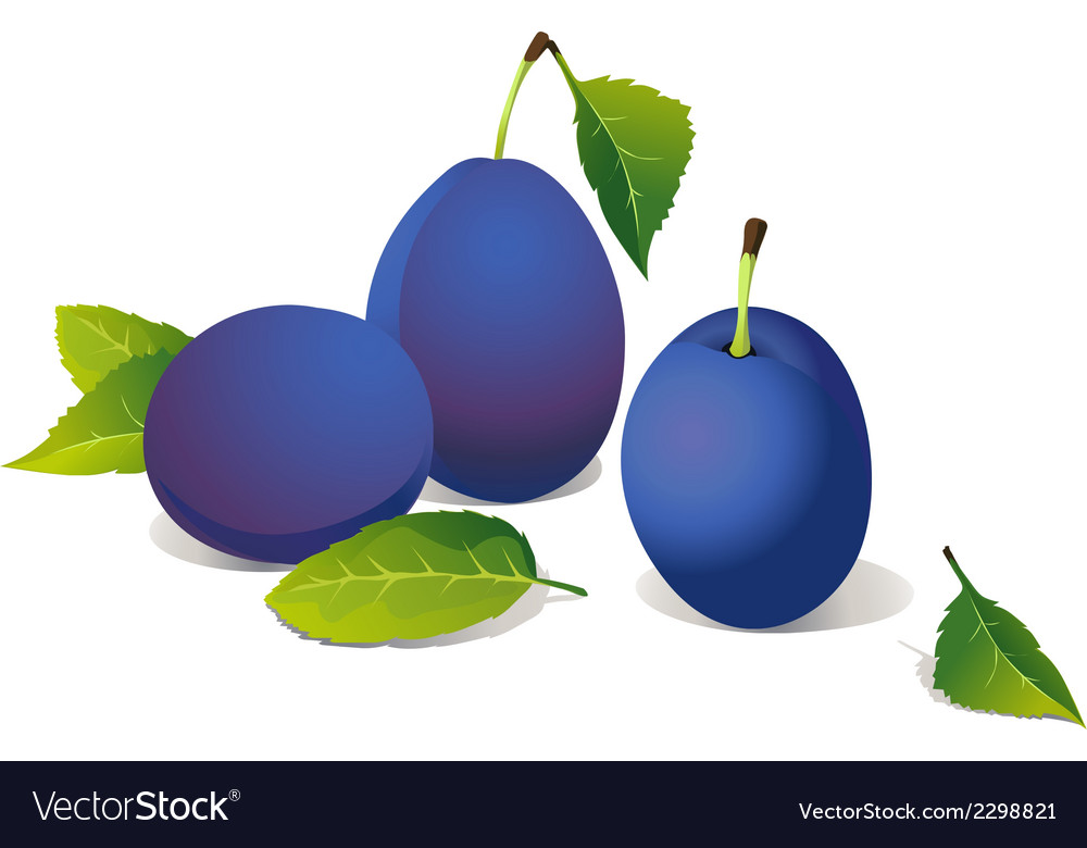 Plums vector image