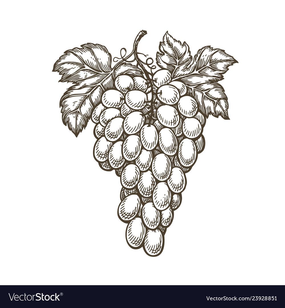 Hand drawn bunch of grapes fruit vineyard wine
