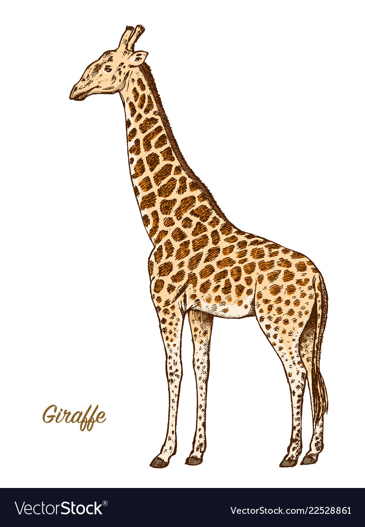 African giraffe wild animal on white background