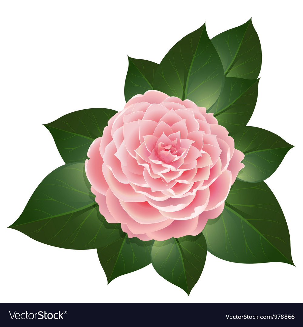 Realistic Camellia Flower Royalty Free Vector Image