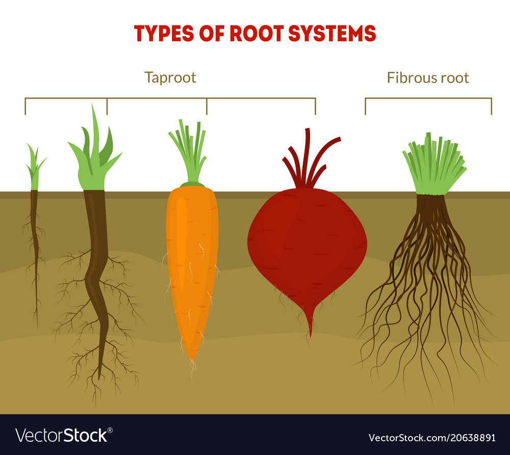 Cartoon Types Root Systems Card Poster Royalty Free Vector