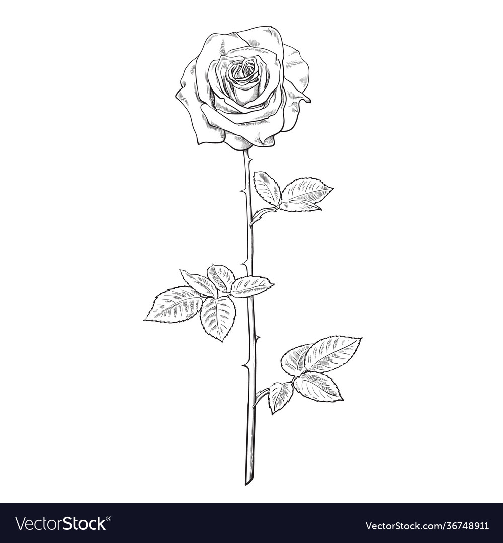 Black and white rose flower in engraving style