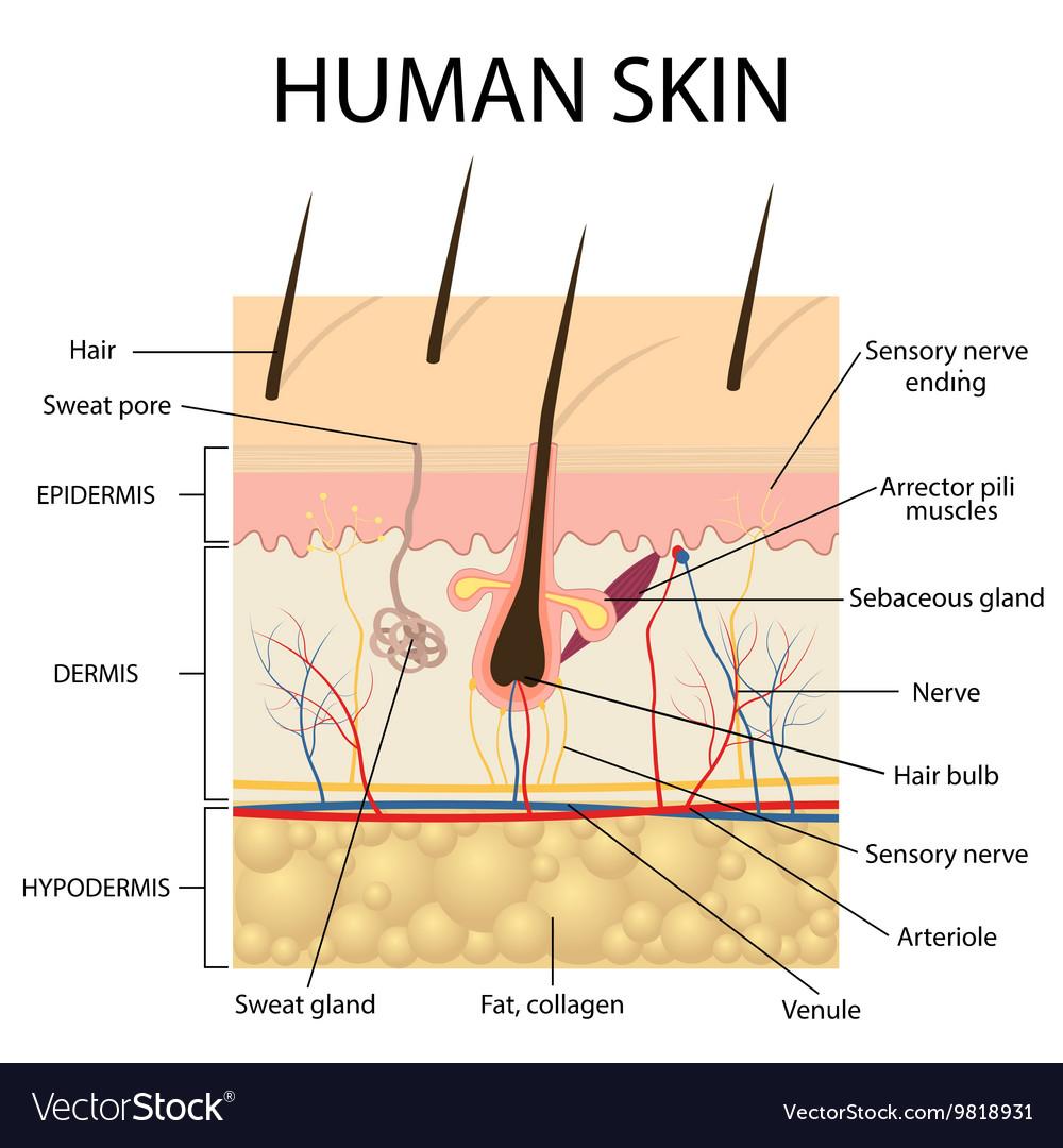 Human skin anatomy Royalty Free Vector Image - VectorStock