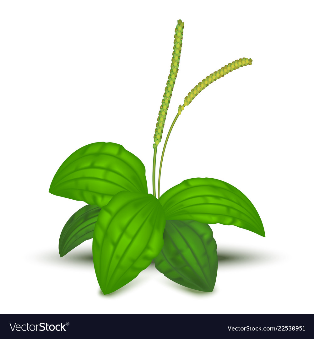 Realistic detailed 3d green leaves plantago major