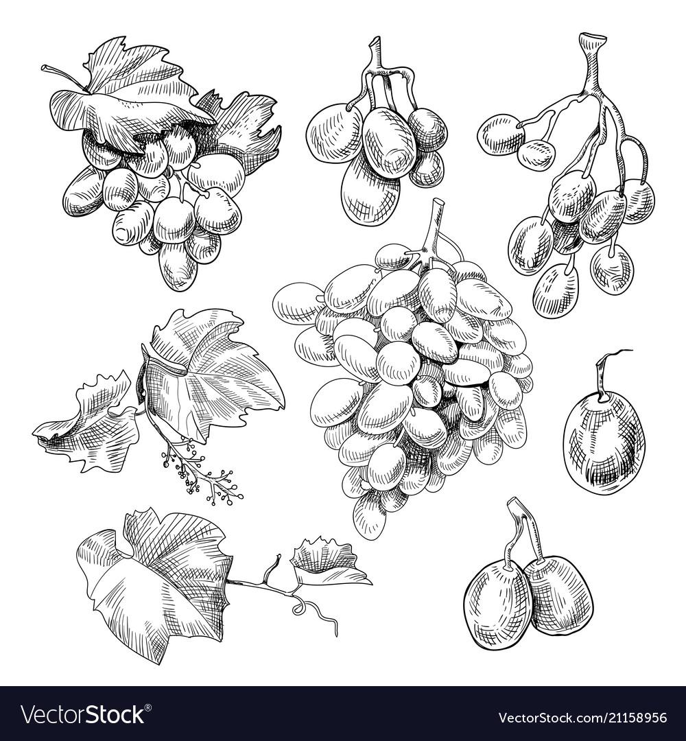 Grapes bunch sketch