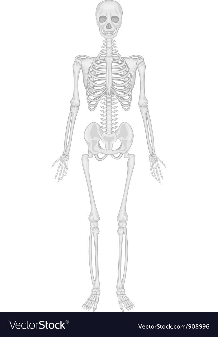 Skeletal System Royalty Free Vector Image Vectorstock