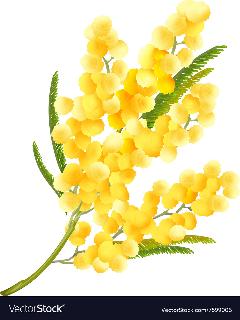 Yellow Mimosa Flower Acacia Flower Symbol Of Vector Image